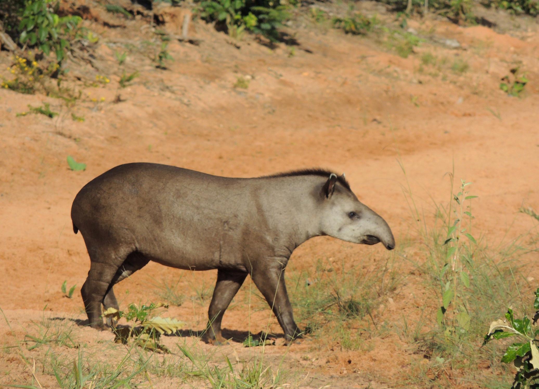 Tapirus terrestris (6)