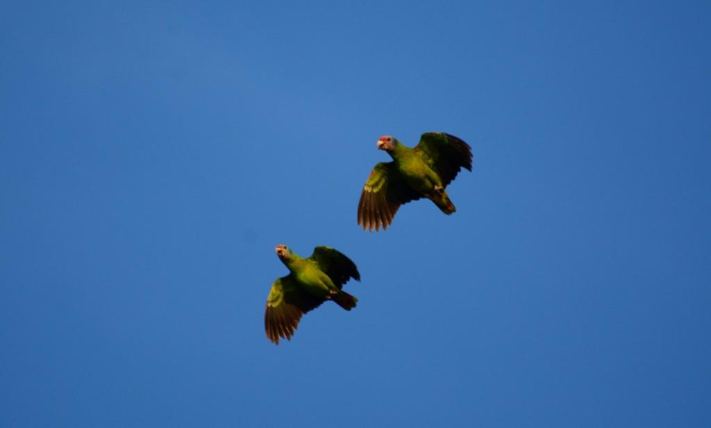 Amazona brasiliensis (papagaio-da-cara-roxa) 2 (Large)